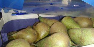 Санкционные фрукты - в Ижевске выявлено более 700 кг груш