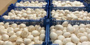 Северо-Западное таможенное управление: шампиньоны, томаты и огурцы не прошли проверку