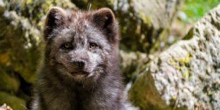 ЕАЭС запрещает неконтролируемый вывоз северных оленей, песцов, тигров и ряда других диких животных
